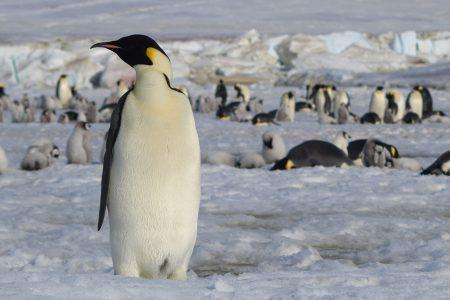 Pingwin cesarski. Fot. ESA/BAS